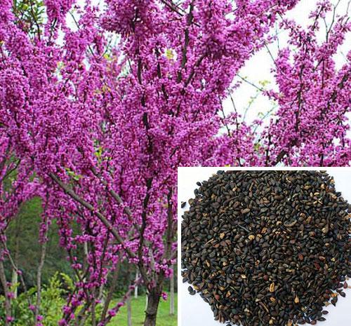 河南紫荆种子