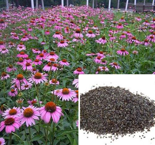 紫松果菊种子
