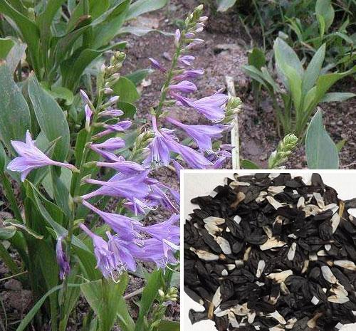 紫玉簪种子