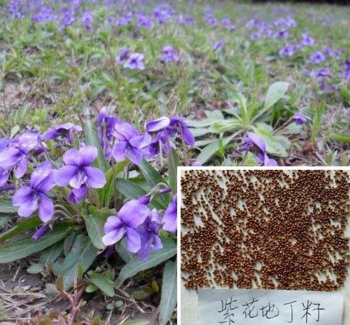 山东紫花地丁种子
