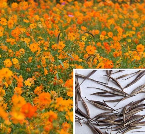 硫华菊种子