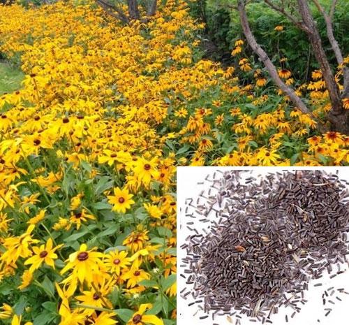 金光菊种子