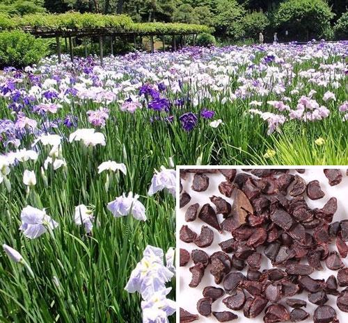 花菖蒲种子