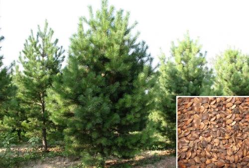 林木种子批发