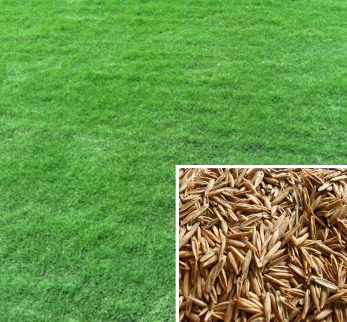 天津草坪种子