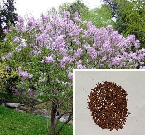 紫丁香种子
