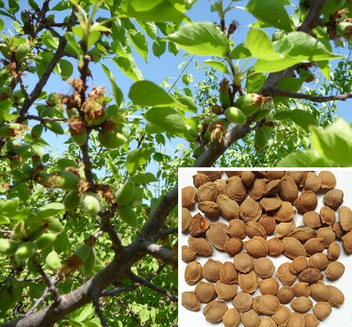 河南山杏种子