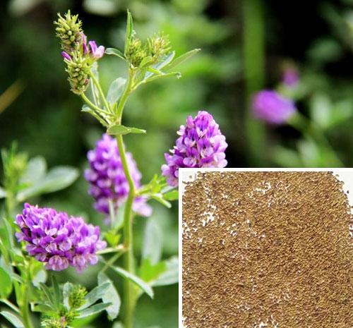 紫花苜宿种子