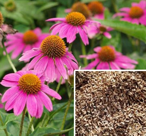 山东紫锥菊种子