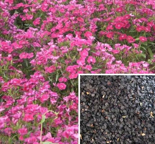 山东保定花卉种子