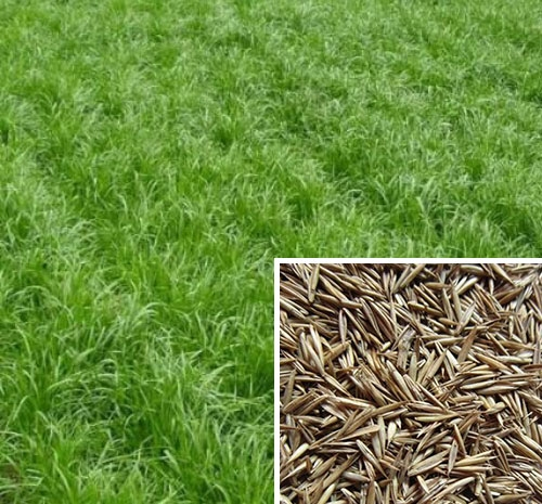 草坪种子批发